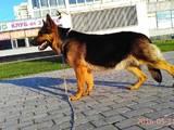 Собаки, щенята Німецька вівчарка, ціна 3500 Грн., Фото