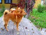 Собаки, щенки Русско-Европейская лайка, цена 2200 Грн., Фото