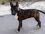 Собаки, щенки Миниатюрный бультерьер, цена 19000 Грн., Фото