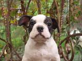 Собаки, щенята Французький бульдог, ціна 4500 Грн., Фото