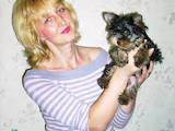 Собаки, щенята Йоркширський тер'єр, ціна 6999 Грн., Фото