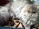 Кошки, котята Персидская, цена 1900 Грн., Фото