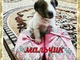 Собаки, щенята Гладкошерста фокстер'єр, ціна 1000 Грн., Фото