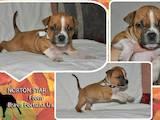 Собаки, щенята Американський стаффордширський тер'єр, ціна 5000 Грн., Фото