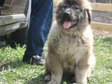 Собаки, щенки Кавказская овчарка, цена 5000 Грн., Фото