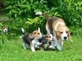 Собаки, щенята Бігль, ціна 15000 Грн., Фото