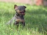 Собаки, щенки Русский гладкошерстный тойтерьер, цена 10000 Грн., Фото