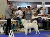 Собаки, щенки Акита-ину, цена 1000 Грн., Фото