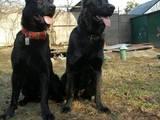 Собаки, щенята Німецька вівчарка, ціна 12500 Грн., Фото
