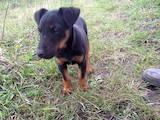 Собаки, щенки Западно-Сибирская лайка, цена 550 Грн., Фото