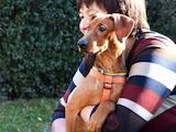 Собаки, щенята Доберман, ціна 8999 Грн., Фото