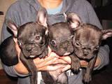 Собаки, щенки Французский бульдог, цена 6500 Грн., Фото