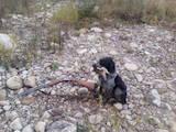 Собаки, щенята Німецька жорсткошерста лягава, ціна 10 Грн., Фото