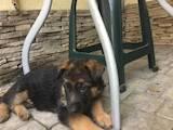 Собаки, щенки Немецкая овчарка, цена 5500 Грн., Фото