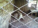 Собаки, щенки Западно-Сибирская лайка, цена 7000 Грн., Фото