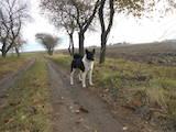 Собаки, щенята Західно-Сибірська лайка, ціна 3600 Грн., Фото