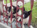 Собаки, щенки Русско-Европейская лайка, цена 2500 Грн., Фото