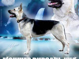 Собаки, щенята Східно-Європейська вівчарка, ціна 16000 Грн., Фото
