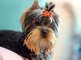 Собаки, щенята Йоркширський тер'єр, ціна 15600 Грн., Фото