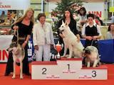 Собаки, щенята Біла Швейцарська вівчарка, ціна 5000 Грн., Фото