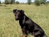 Собаки, щенки Ягдтерьер, цена 800 Грн., Фото