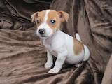 Собаки, щенки Джек Рассел терьер, цена 2000 Грн., Фото