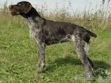 Собаки, щенки Немецкая жесткошерстная легавая, цена 1600 Грн., Фото