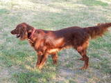 Собаки, щенята Ірландський сетер, ціна 2000 Грн., Фото