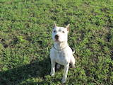 Собаки, щенки Американский стаффордширский терьер, цена 500 Грн., Фото
