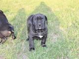 Собаки, щенки Кане Корсо, цена 7500 Грн., Фото