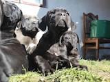 Собаки, щенята Кане Корсо, ціна 7500 Грн., Фото