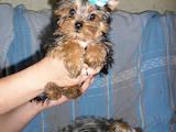 Собаки, щенята Йоркширський тер'єр, ціна 12600 Грн., Фото