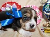 Собаки, щенки Бигль, цена 13000 Грн., Фото
