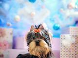 Собаки, щенки Йоркширский терьер, цена 13500 Грн., Фото