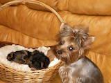 Собаки, щенята Йоркширський тер'єр, ціна 3000 Грн., Фото