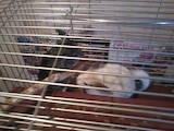 Гризуни Шиншили, ціна 1000 Грн., Фото