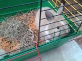 Гризуни Кролики, ціна 650 Грн., Фото