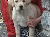 Собаки, щенята Лабрадор ретрівер, ціна 5500 Грн., Фото
