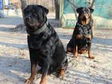Собаки, щенки Ротвейлер, цена 5500 Грн., Фото