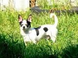 Собаки, щенята Чихуа-хуа, ціна 900 Грн., Фото