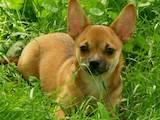 Собаки, щенки Чихуа-хуа, цена 1400 Грн., Фото