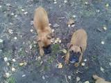 Собаки, щенята Боксер, ціна 1500 Грн., Фото
