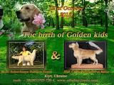 Собаки, щенята Золотистий ретрівер, ціна 8000 Грн., Фото