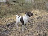 Собаки, щенята Німецька жорсткошерста лягава, ціна 3500 Грн., Фото