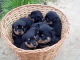Собаки, щенки Ротвейлер, цена 1500 Грн., Фото