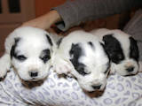 Собаки, щенки Среднеазиатская овчарка, цена 1200 Грн., Фото