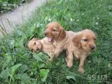 Собаки, щенята Англійський коккер, ціна 950 Грн., Фото