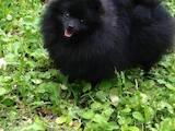 Собаки, щенята Малий шпіц, ціна 12000 Грн., Фото