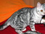 Кішки, кошенята Шотландська короткошерста, ціна 1800 Грн., Фото