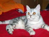 Кошки, котята Шотландская короткошерстная, цена 1800 Грн., Фото